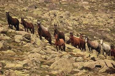 Kumalar Dağı'nda ortaya çıkan yılkı atları büyüledi