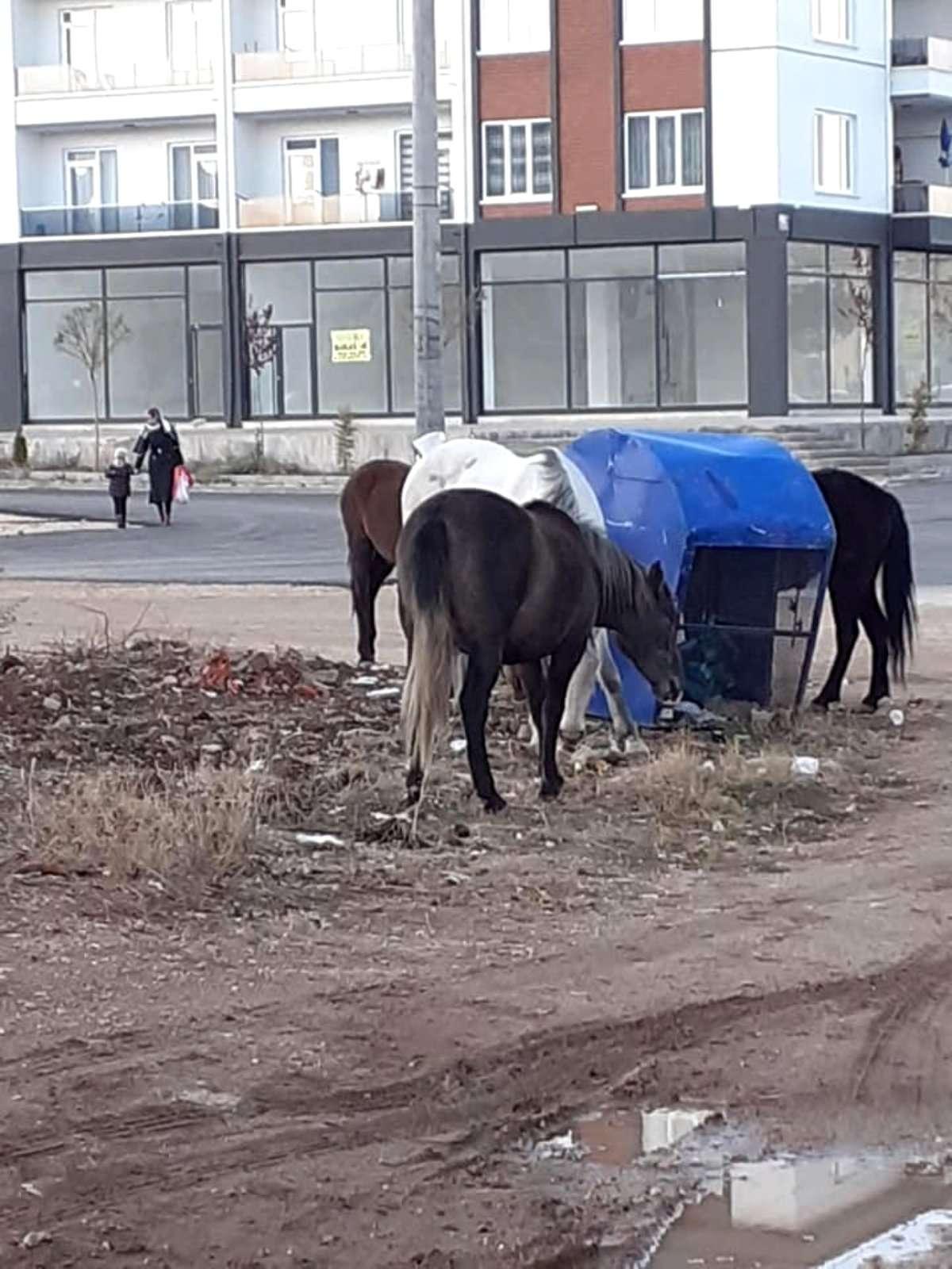 Sahipsiz kalan aç atlar kent merkezine indi