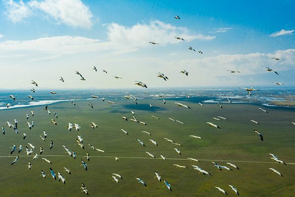 Pelikanlar Eber Gölü'nde görüldü