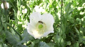 Haşhaş çiçeklerine arıcılardan yoğun ilgi