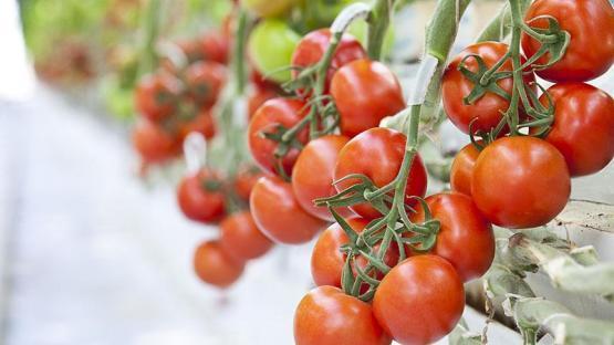 Türk Şeker domateslere talip